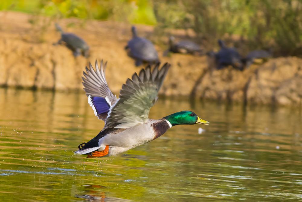 看清楚了,原来绿头鸭这么美!_图1-13