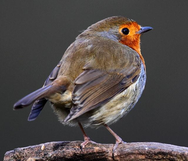 纽波特湿地国家自然保护区---知更鸟_图1-3