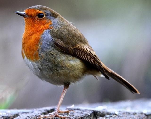 纽波特湿地国家自然保护区---知更鸟_图1-4