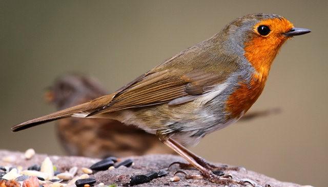 纽波特湿地国家自然保护区---知更鸟_图1-5