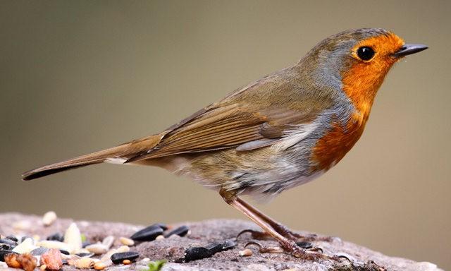 纽波特湿地国家自然保护区---知更鸟_图1-6