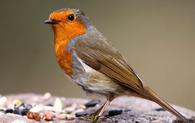 纽波特湿地国家自然保护区---知更鸟_图1-7