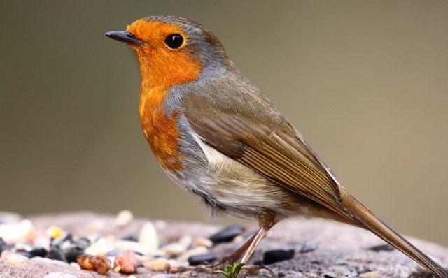 纽波特湿地国家自然保护区---知更鸟_图1-8