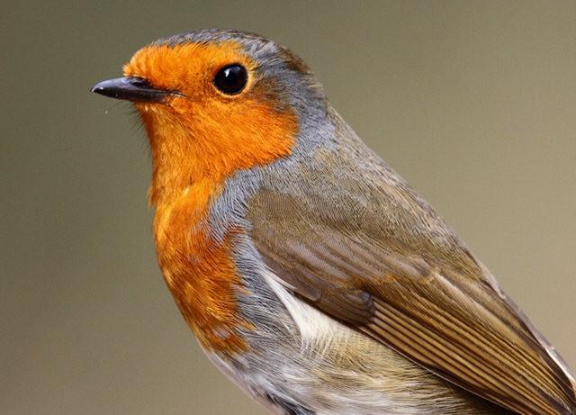 纽波特湿地国家自然保护区---知更鸟_图1-9