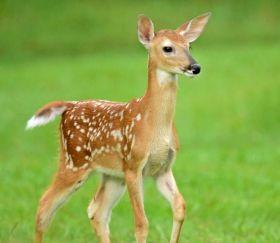 鹿在Chesnut Nature Park