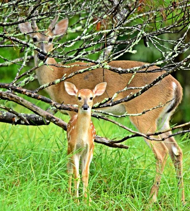 鹿在Chesnut Nature Park_图1-2
