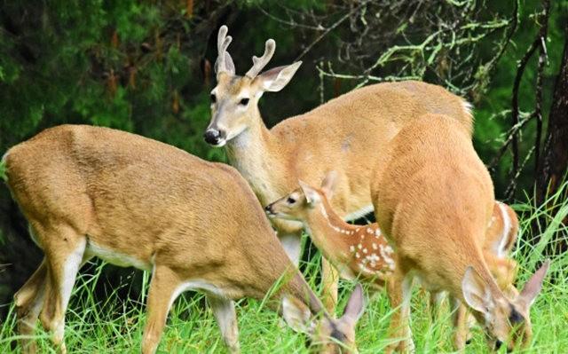 鹿在Chesnut Nature Park_图1-4