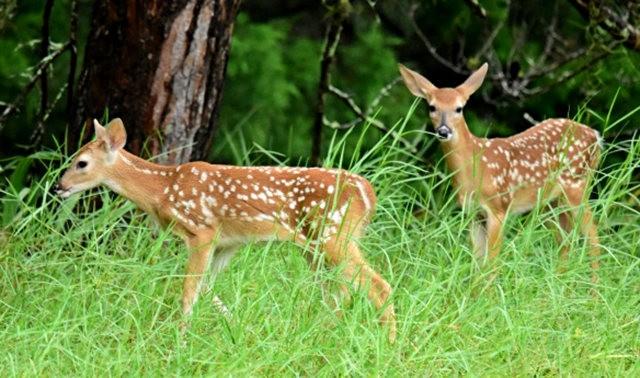 鹿在Chesnut Nature Park_图1-8