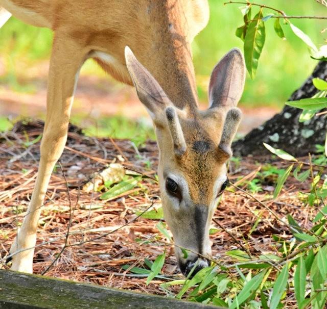 鹿在Chesnut Nature Park_图1-11