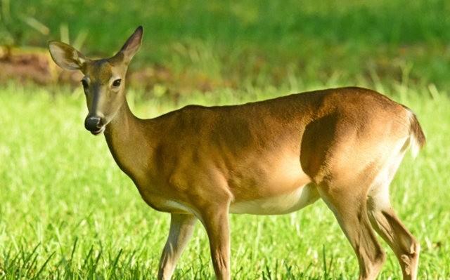 鹿在Chesnut Nature Park_图1-13