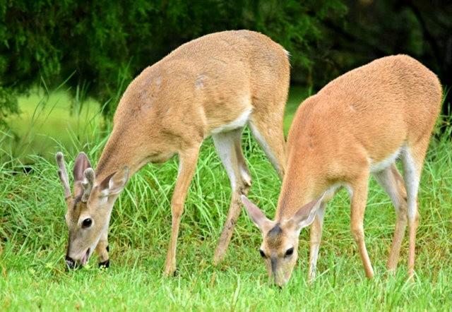 鹿在Chesnut Nature Park_图1-14