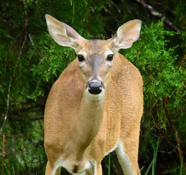 鹿在Chesnut Nature Park_图1-15
