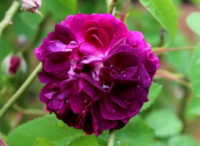 法国最美的玫瑰园--马恩河谷玫瑰_图1-1