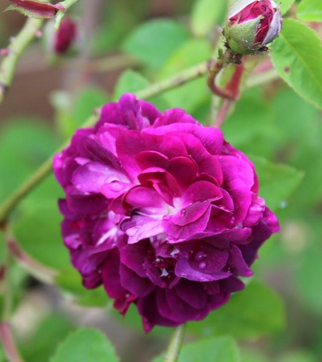 法国最美的玫瑰园--马恩河谷玫瑰_图1-2