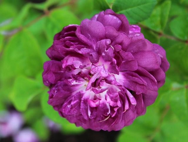 法国最美的玫瑰园--马恩河谷玫瑰_图1-4