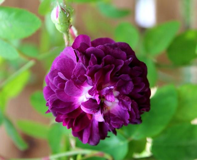 法国最美的玫瑰园--马恩河谷玫瑰_图1-5