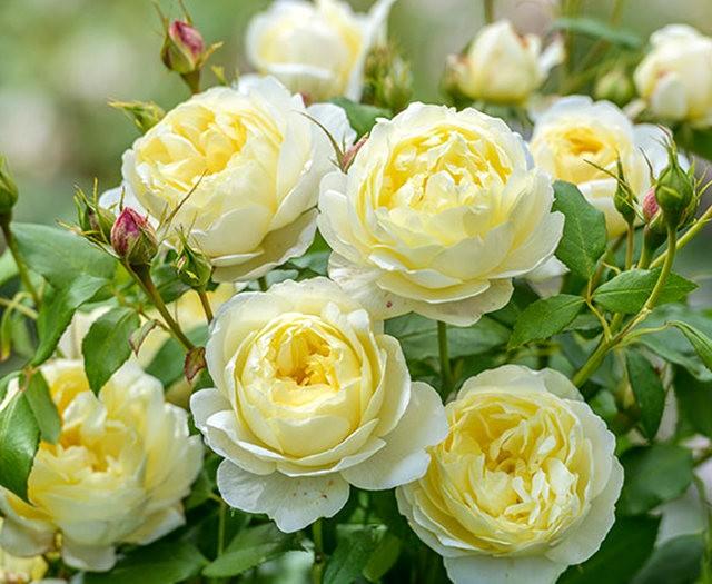 法国最美的玫瑰园--马恩河谷玫瑰_图1-6