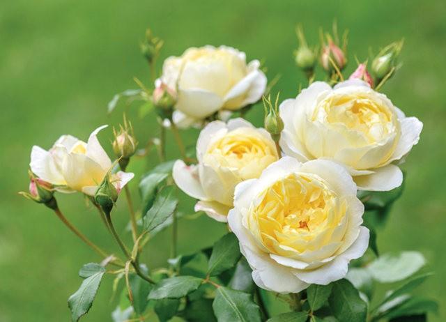 法国最美的玫瑰园--马恩河谷玫瑰_图1-7