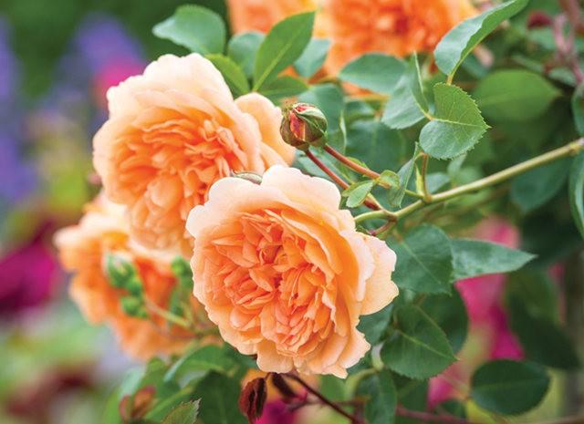 法国最美的玫瑰园--马恩河谷玫瑰_图1-8