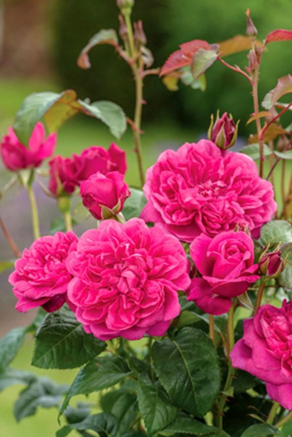 法国最美的玫瑰园--马恩河谷玫瑰_图1-9
