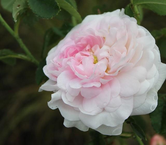 法国最美的玫瑰园--马恩河谷玫瑰_图1-10