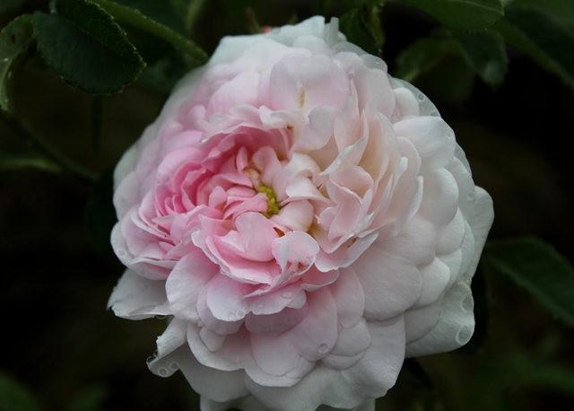 法国最美的玫瑰园--马恩河谷玫瑰_图1-11
