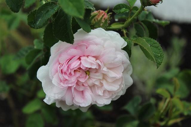 法国最美的玫瑰园--马恩河谷玫瑰_图1-12