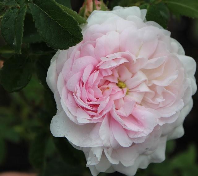 法国最美的玫瑰园--马恩河谷玫瑰_图1-13