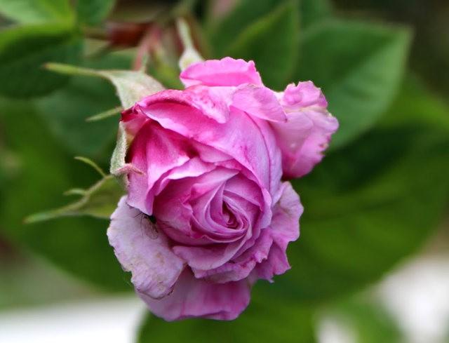 法国最美的玫瑰园--马恩河谷玫瑰_图1-14