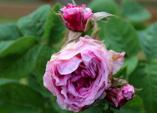 法国最美的玫瑰园--马恩河谷玫瑰_图1-15