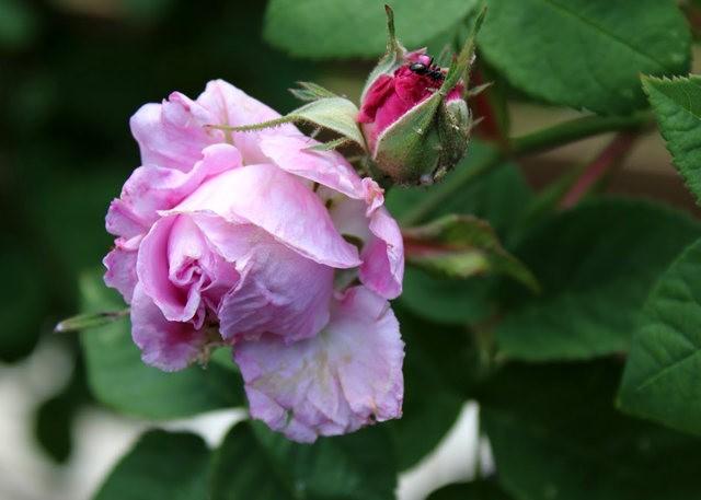 法国最美的玫瑰园--马恩河谷玫瑰_图1-16