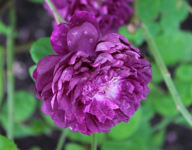 法国最美的玫瑰园--马恩河谷玫瑰_图1-17