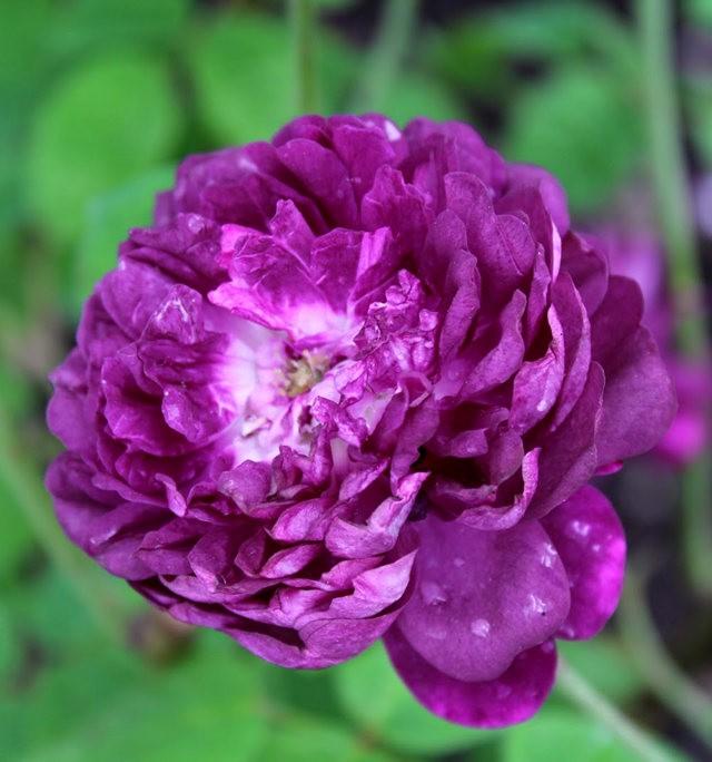 法国最美的玫瑰园--马恩河谷玫瑰_图1-18
