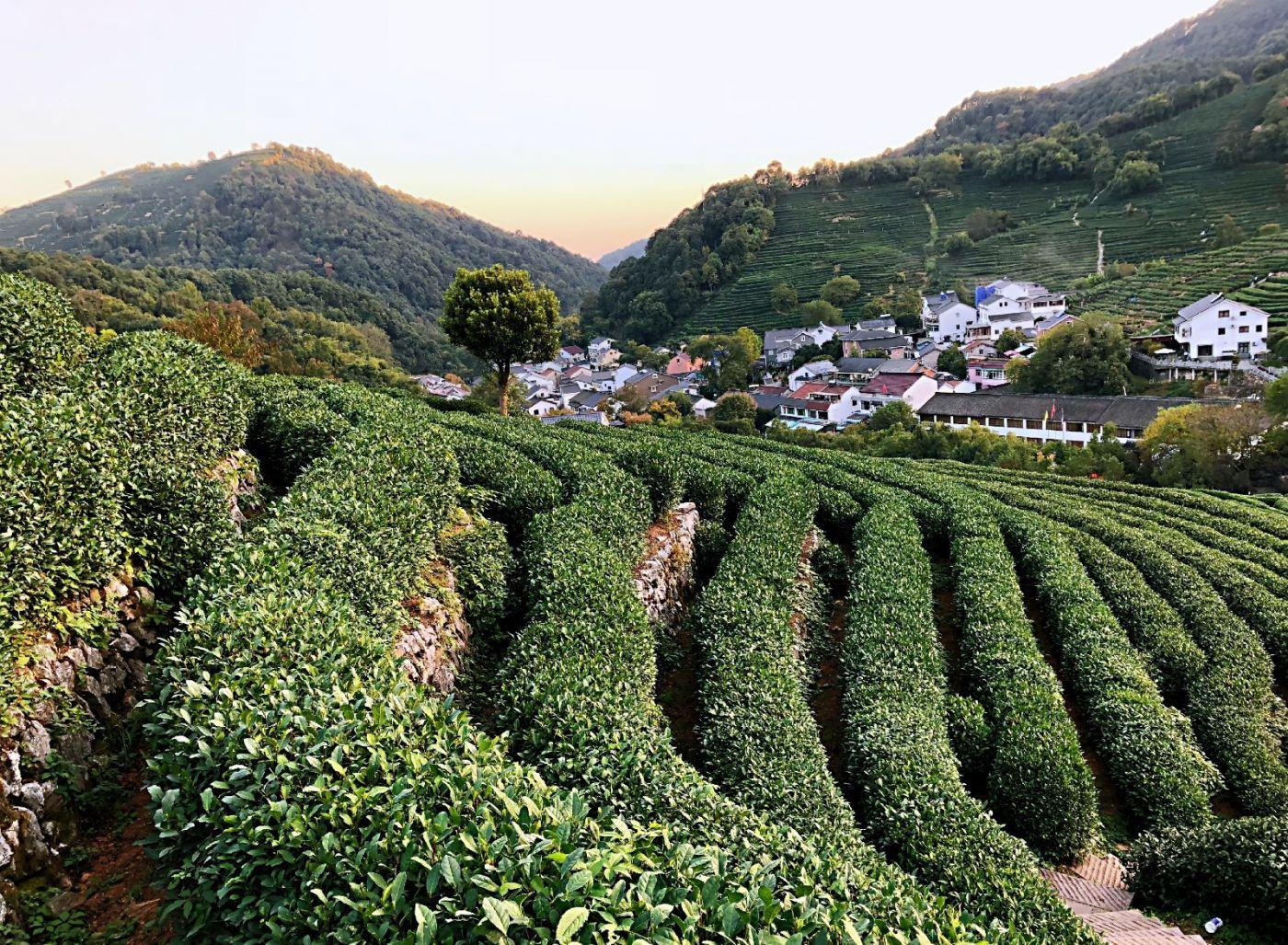 【田螺随拍】杭州龙井茶园-手机版_图1-4