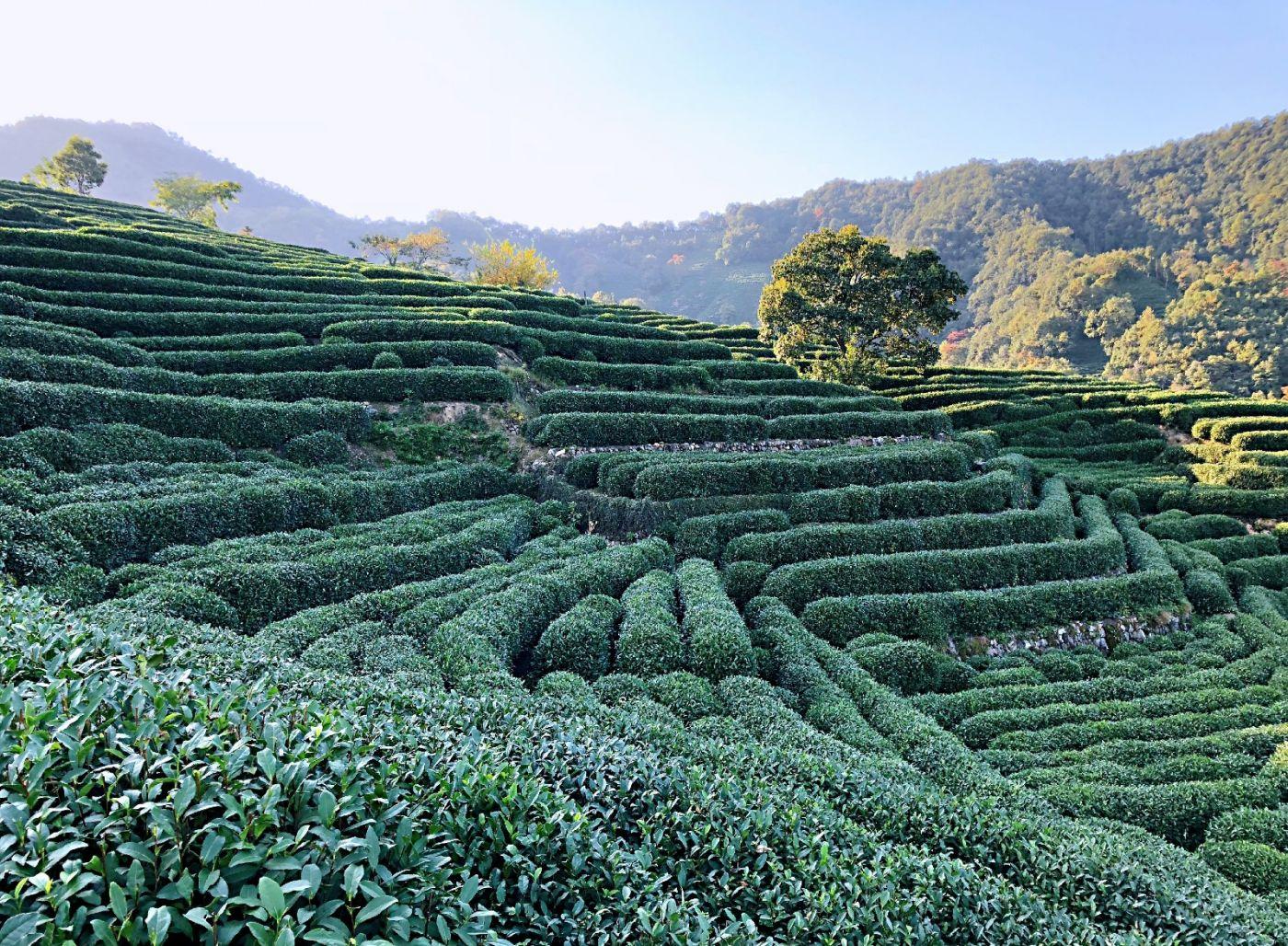 【田螺随拍】杭州龙井茶园-手机版_图1-20