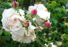 诺曼第修道院之玫瑰  2