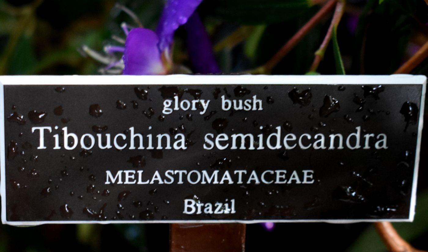 巴西野牡丹_图1-18
