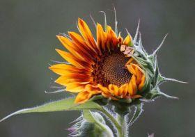 以自己的方式美丽向日葵