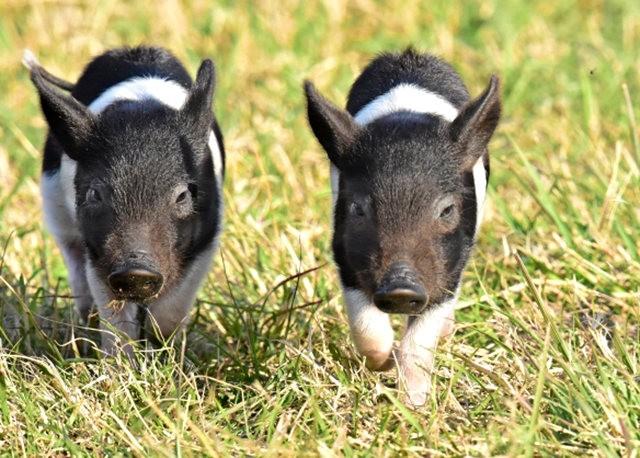 候鳥保護區的豬家庭_圖1-1