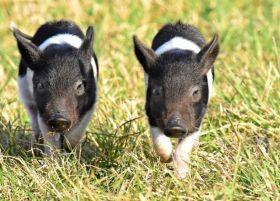候鸟保护区的猪家庭