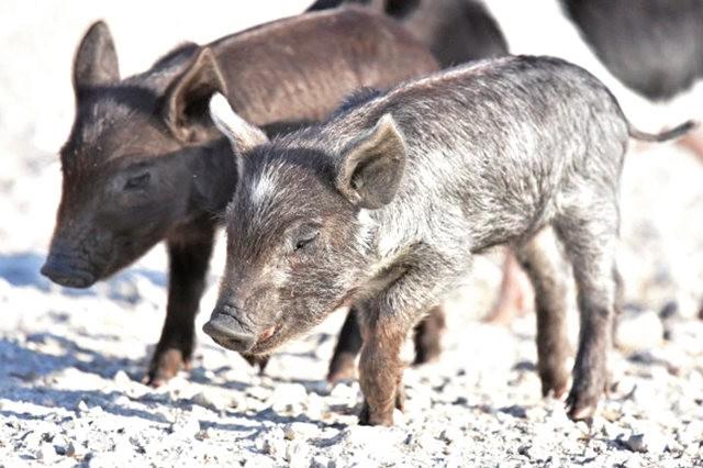 候鳥保護區的豬家庭_圖1-4