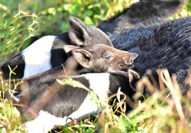候鳥保護區的豬家庭_圖1-5