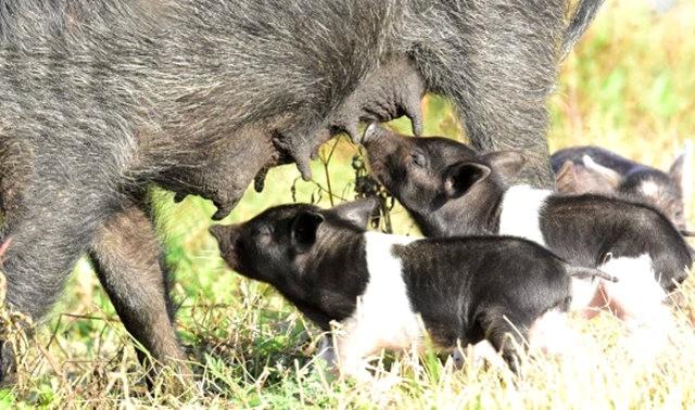 候鳥保護區的豬家庭_圖1-8