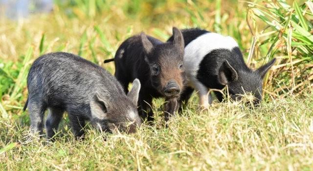 候鳥保護區的豬家庭_圖1-9