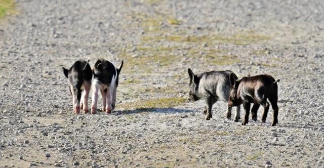 候鳥保護區的豬家庭_圖1-12