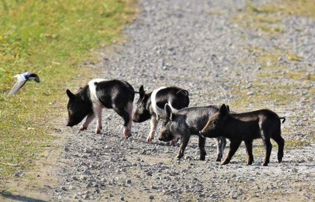 候鳥保護區的豬家庭_圖1-13