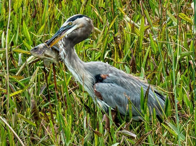 Wakodahatchee Wetlands 濕地_圖1-1