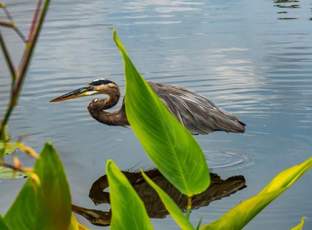 Wakodahatchee Wetlands 濕地_圖1-4