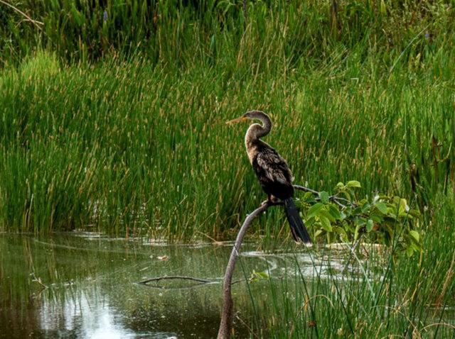 Wakodahatchee Wetlands 濕地_圖1-5