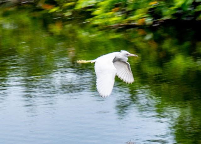 Wakodahatchee Wetlands 濕地_圖1-7